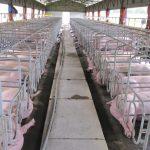 xử lý trang trại chăn nuôi heo gây ô nhiễm môi trường